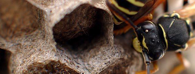 Bekæmpelse af hvepse og hvepsebo