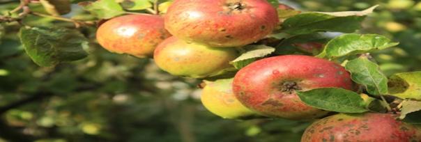 Guide: Sådan laver du hjemmelavet æblesaft af dine æbler
