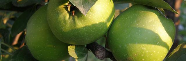Beskæring af æbletræer – hvornår og hvordan