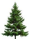 juletræ-normanns_gran